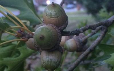 Acorns, it's what squirrels crave